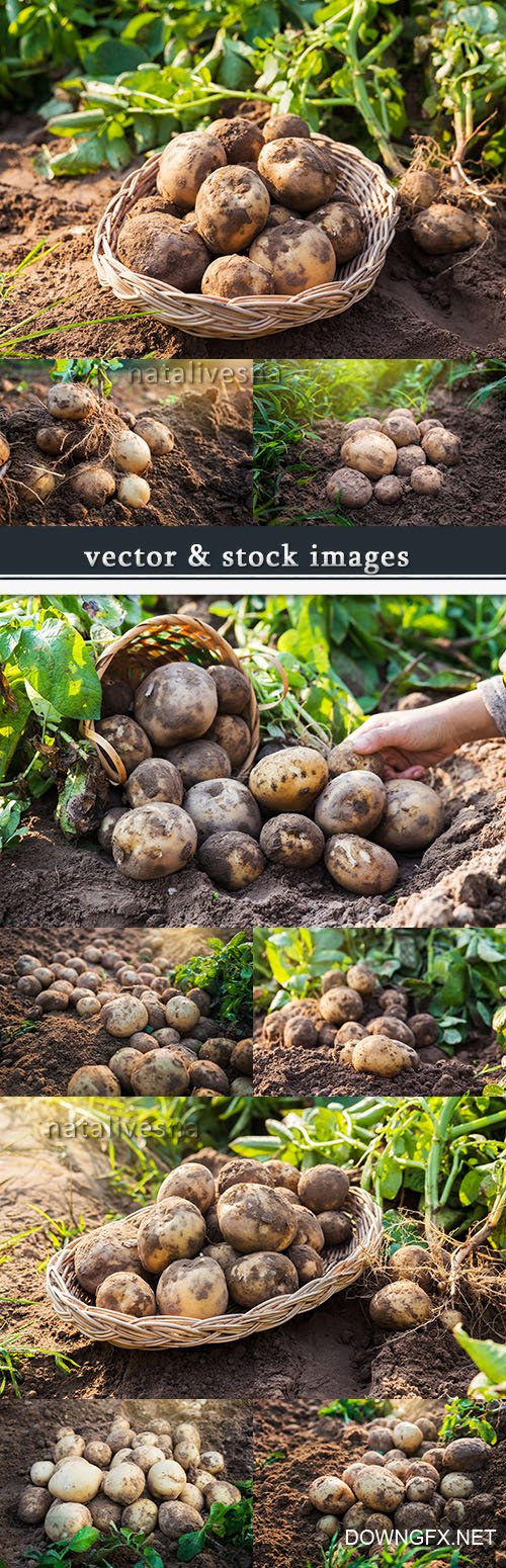 New potato agriculture new season cleaning