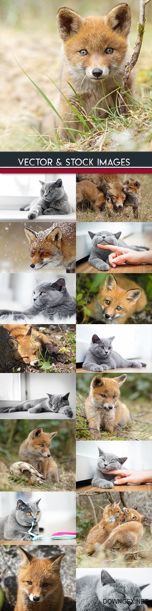 Grey British kitten and red fox with foxes
