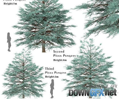 Set of Picea Pungens Trees (Blue spruce) (3 Trees)